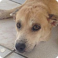 Adopt A Pet :: Chealsea - Sunnyvale, CA