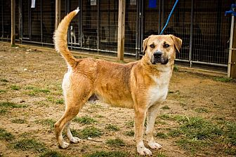 Golden Retriever Mix Dog for adoption in Jasper, Alabama - Happy Boy looking for a Home!