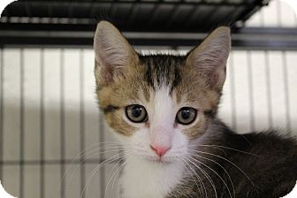 Domestic Shorthair Cat for adoption in Sarasota, Florida - Bigby
