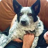Adopt A Pet :: Dakota - Courtesy Listing - Evergreen, CO
