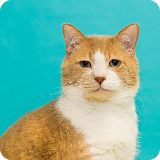 Domestic Shorthair Cat for adoption in Houston, Texas - Stallone