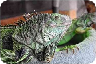 Iguana for adoption in Longmont, Colorado - Lily