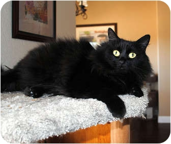 Domestic Longhair Cat for adoption in Palmdale, California - Misty