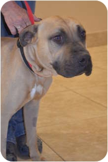 Bullmastiff Mix Dog for adoption in Phoenix, Arizona - Reece