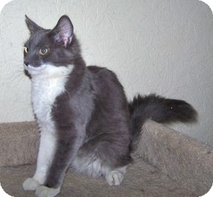 Domestic Mediumhair Cat for adoption in Colorado Springs, Colorado - K-Quail6-Cavalli