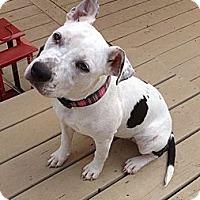 Adopt A Pet :: DaisyJane - Brattleboro, VT