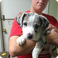 Adopt A Pet :: Blue - Norman, OK