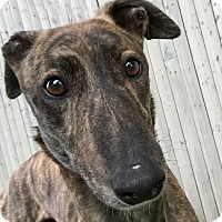Adopt A Pet :: Hendrix - Swanzey, NH