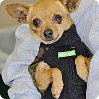 Adopt A Pet :: Biscotti - Meridian, ID
