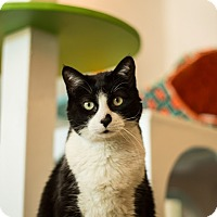 American Shorthair Cat for adoption in Los Angeles, California - Buttons