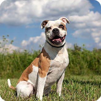 American Bulldog Mix Dog for adoption in Elizabeth City, North Carolina - Oakley