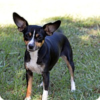 Rat Terrier Dog for adoption in Westport, Connecticut - Bethany