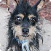 Yorkie, Yorkshire Terrier/Dachshund Mix Dog for adoption in Carpentersville, Illinois - Frank