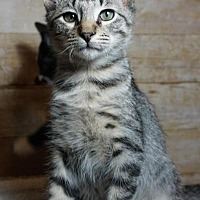 Domestic Shorthair Kitten for adoption in Houston, Texas - Heathcliff
