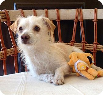 Terrier (Unknown Type, Small) Mix Dog for adoption in Tijeras, New Mexico - Chuy