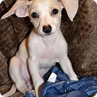 Adopt A Pet :: Dena, A Terrier-Dachshund puppy - Arlington, WA