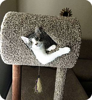 Domestic Shorthair Cat for adoption in Nolensville, Tennessee - Bugsy