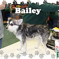 Adopt A Pet :: Bailey - Fallston, MD