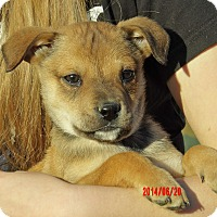 German Shepherd Dog/Akita Mix Puppy for adoption in Sussex, New Jersey - Maverick (6 lb) Video!