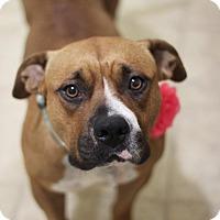 Adopt A Pet :: Abigail - Davie, FL