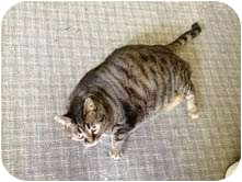 Domestic Shorthair Cat for adoption in Warren, Ohio - Toni