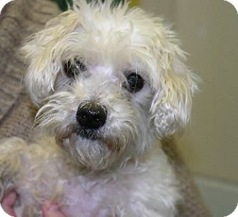 Maltese/Poodle (Miniature) Mix Dog for adoption in Avon, New York ...