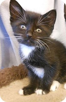 Domestic Shorthair Kitten for adoption in Reston, Virginia - Bruno