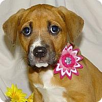 Adopt A Pet :: *Lacy - PENDING - Westport, CT