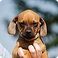 Adopt A Pet :: Bauer - Providence, RI