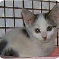 Adopt A Pet :: Polka dotted kittens - Dallas, TX
