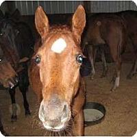 Adopt A Pet :: Scarlet - Dewey, IL