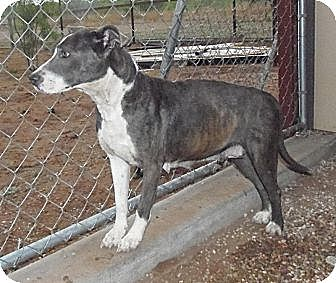 Pit Bull Terrier Mix Dog for adoption in Post, Texas - Penny