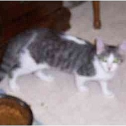 Photo 1 - Domestic Shorthair Cat for adoption in Simms, Texas - Darby & Ryan