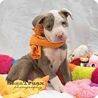 Adopt A Pet :: Metis - Frisco, TX