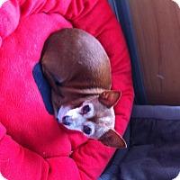 Adopt A Pet :: Coco the chi - Willingboro, NJ