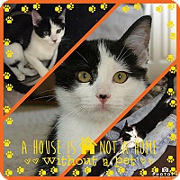 Domestic Shorthair Kitten for adoption in Alexandria, Minnesota - Oreo