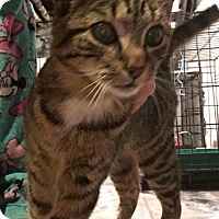 Adopt A Pet :: Tammy-XTRA TOES - East Brunswick, NJ