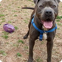 Adopt A Pet :: Georgie - Greenville, SC