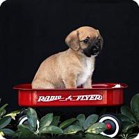 Adopt A Pet :: Paige - SAN PEDRO, CA