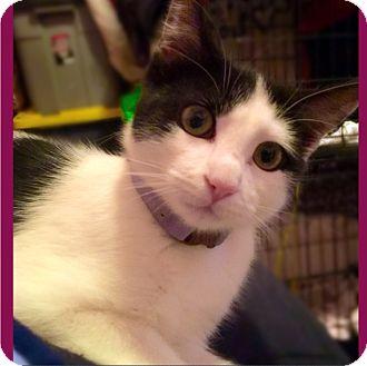 Turkish Van Kitten for adoption in Cerritos, California - Sierra