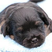 Adopt A Pet :: Denny - La Costa, CA