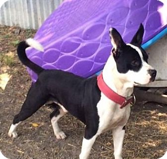 American Staffordshire Terrier Mix Dog for adoption in Saginaw, Michigan - Sparky
