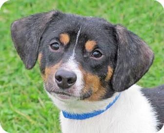 Dachshund Mix Dog for adoption in Woodstock, Illinois - Garfield