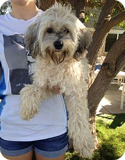 Cockapoo Mix Dog for adoption in Temecula, California - Duffy