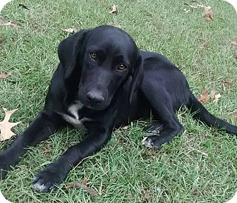 Labrador Retriever Mix Dog for adoption in Plano, Texas - Jess
