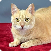 Domestic Shorthair Cat for adoption in Columbia, Illinois - Charlie