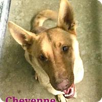 Adopt A Pet :: Cheyenne - California City, CA