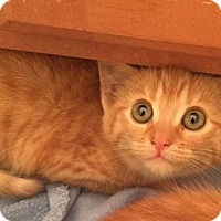Adopt A Pet :: Catty Griffin - Gainesville, FL