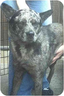 Australian Cattle Dog/Blue Heeler Mix Dog for adoption in Forest Hills, New York - Hailey