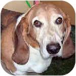 Basset Hound Dog for adoption in Phoenix, Arizona - Chewie